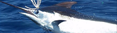 Marlin Fishing East Cape Los Barriles